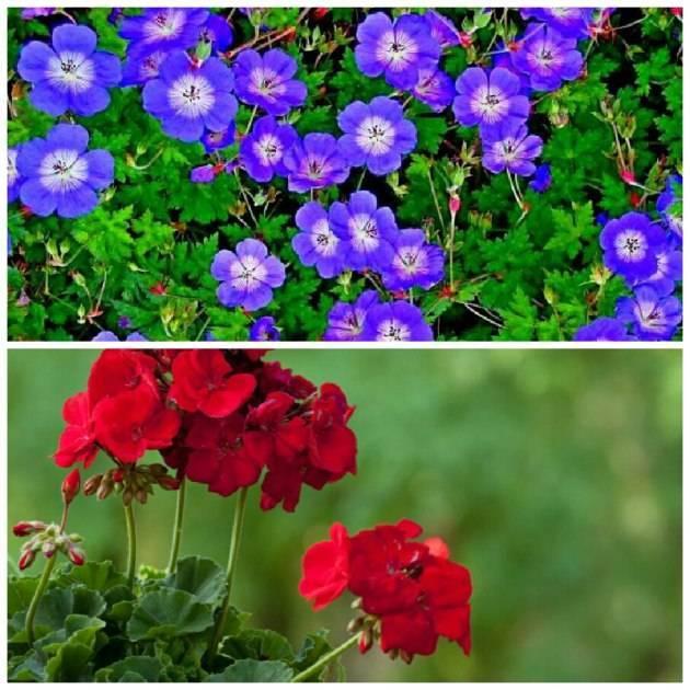 Розы флорибунда: посадка и уход в открытом грунте для новичков
