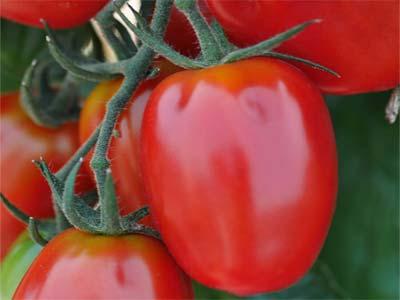 Томат великосветский — описание и характеристика сорта