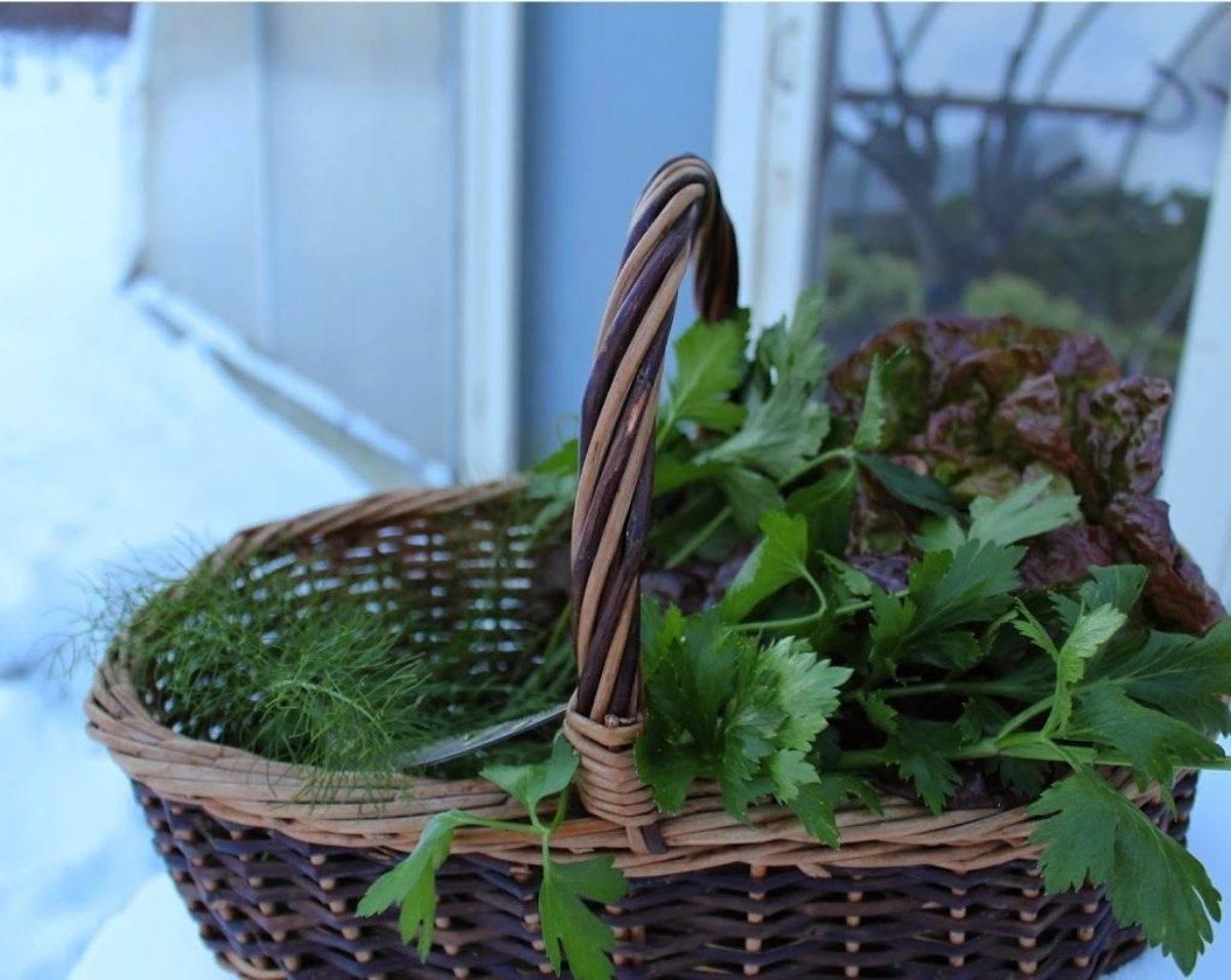 Петрушка дома и на даче: как правильно посадить зелень и ухаживать в первое время за всходами?