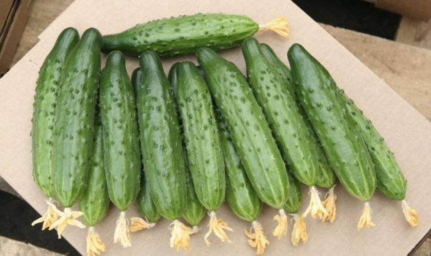 Описание сорта огурца Мамлюк, его выращивание и уход