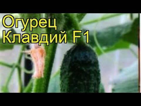 Что это за огурец шоша f1: характеристика, описание сорта, фото, отзывы