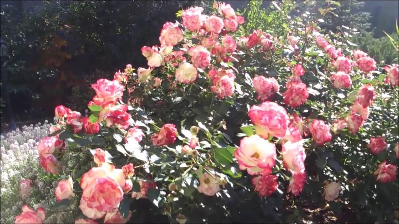 Роза юбилей принца монако: описание, посадка, уход, болезни и вредители