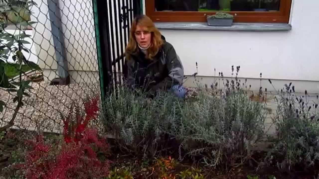 Можно ли пересаживать лаванду осенью, когда и как лучше это сделать