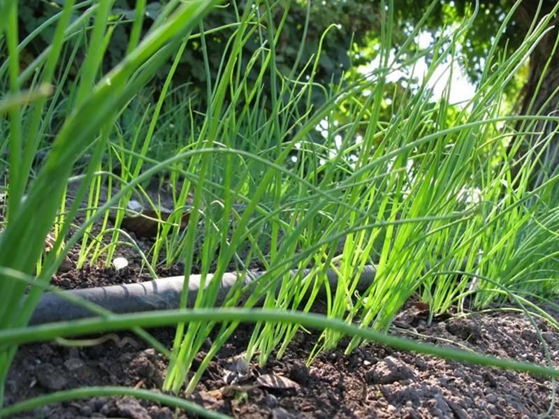 Правильная подкормка лука на головку весной – залог хорошего урожая