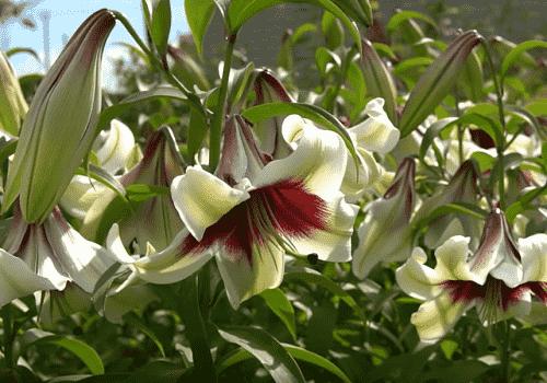Правила пересадки лилий весной