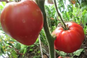 Сорта томатов для открытого грунта сибири: фото, описания