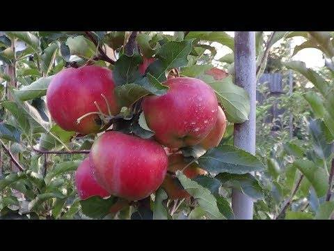 Описание сорта яблони Витязь и вкусовые характеристики плодов, урожайность