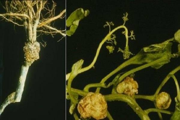 Как избавиться от болезней хризантем, основные вредители и их лечение