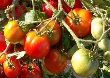 Секреты выращивания большого урожая томатов бони