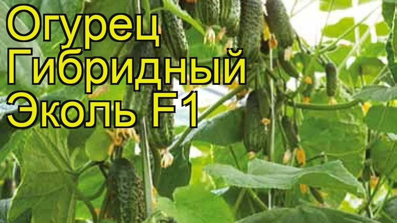 Описание сорта огурца эколь f1 и его характеристика