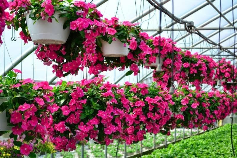 Описание и фото катарантуса. применение цветка, выращивание и уход