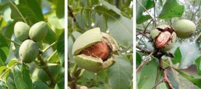 Как вырастить грецкий орех в подмосковье