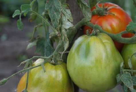 Описание сорта томата купец, его характеристики и урожайность
