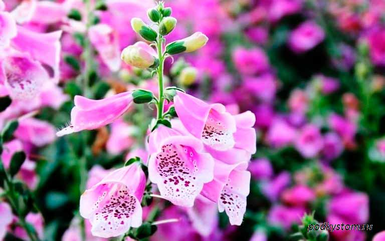 Наперстянка: особенности посадки и ухода за растением дигиталис
