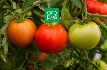Особенности сорта томатов биг биф f1 и советы по выращиванию