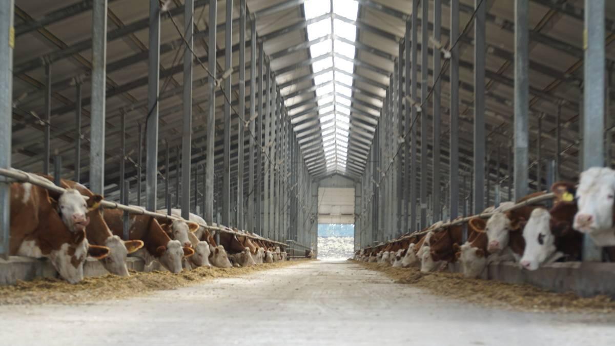 Мясное и молочное скотоводство