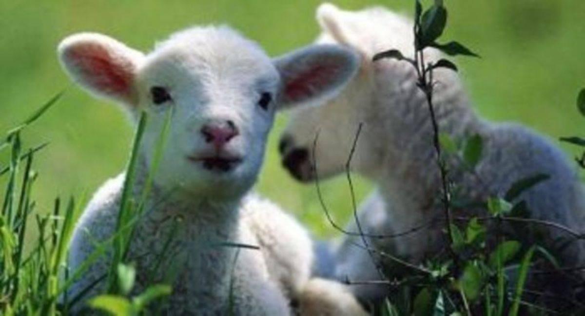 Эстроз овец