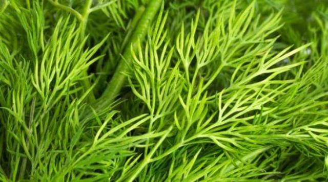 Выращивание укропа рассадой: тонкости, секреты и рекомендации