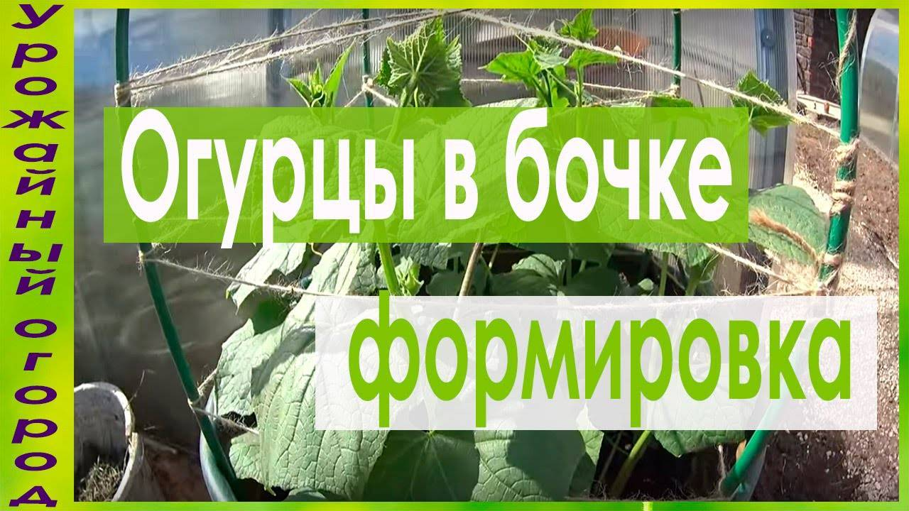 Выращивание огурцов в бочке станет украшением вашего участка