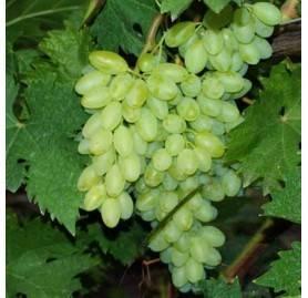 Калифорнийский силач – виноград кишмиш столетие