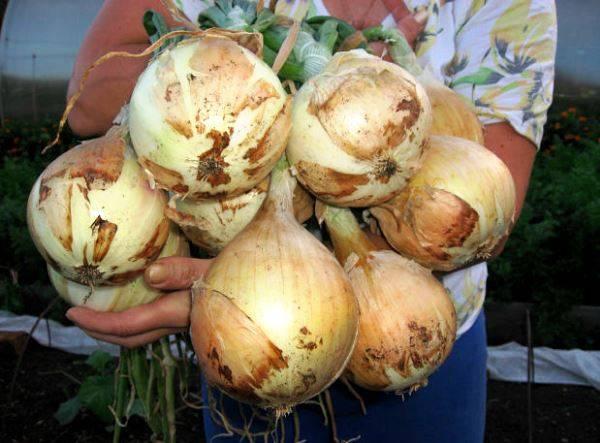 Лук-севок голландской селекции: описание, способы посадки и выращивание