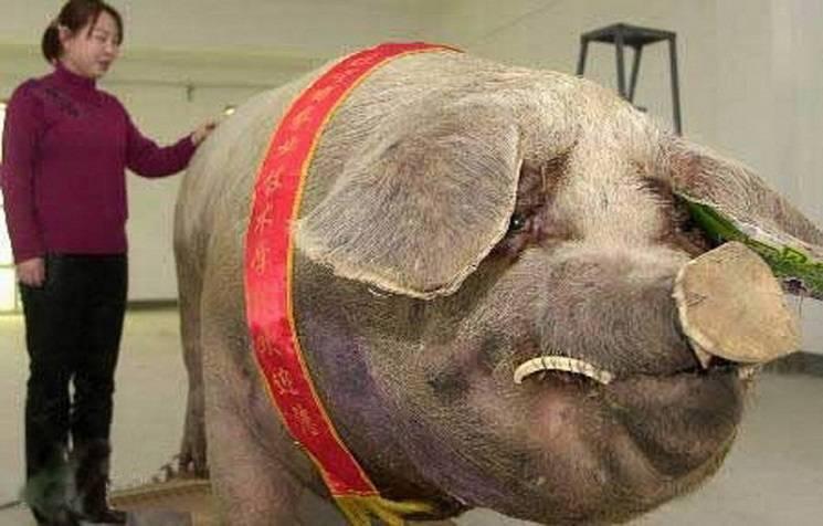 Самая большая свинья в мире: сколько весит, породы, Книга рекордов Гиннеса