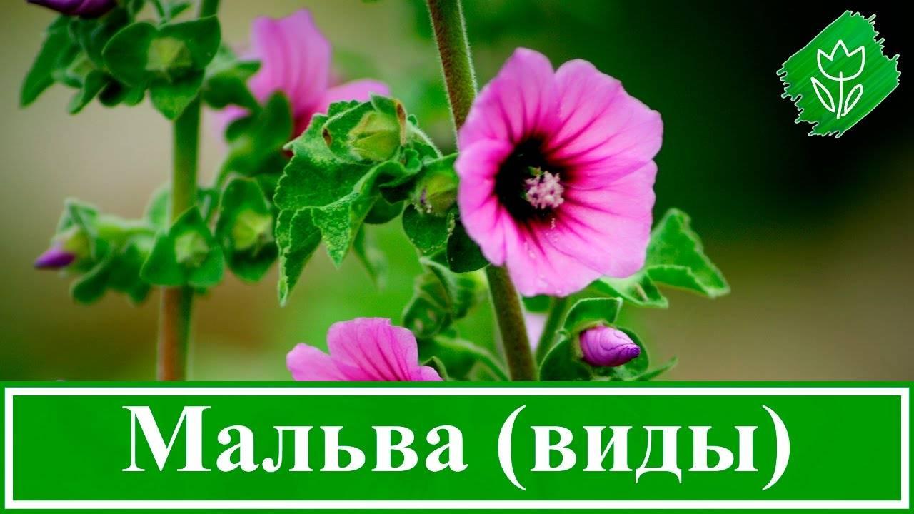Мальва (шток-роза или просвирник)