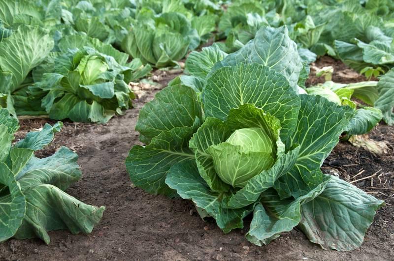 Что делать, если капуста стоит на месте не растет, чем подкормить