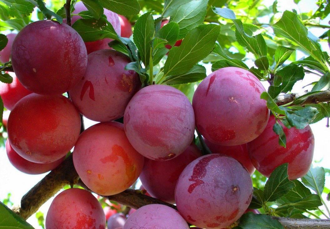 Особенности выращивания сливы в сибири