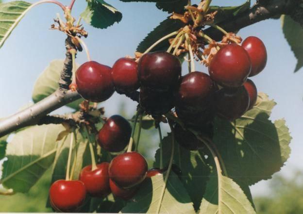 Вишня уйфехертои фюртош: описание сорта, история и особенности выращивания