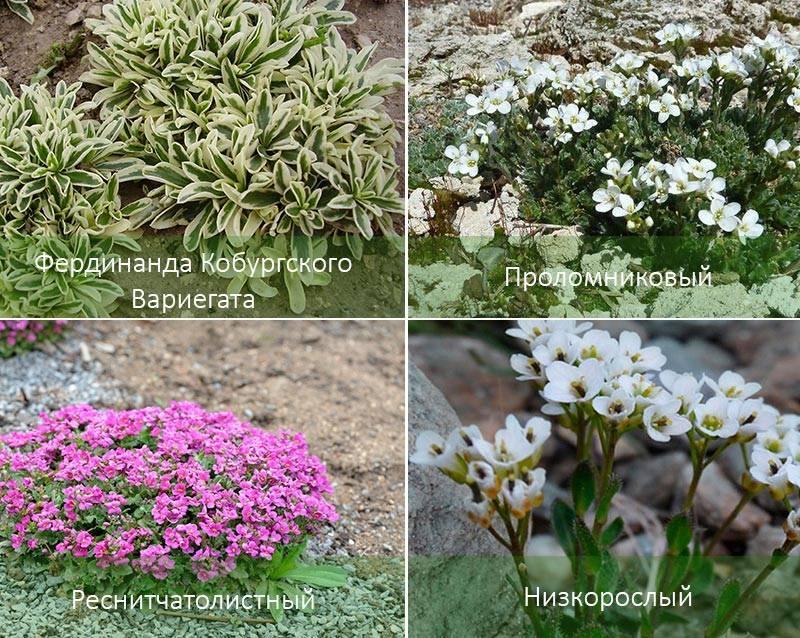 Многолетний арабис: виды цветов, посадка и уход