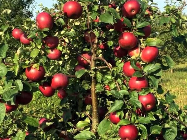 Описание и характеристики яблони сорта Белорусское сладкое, посадка и уход