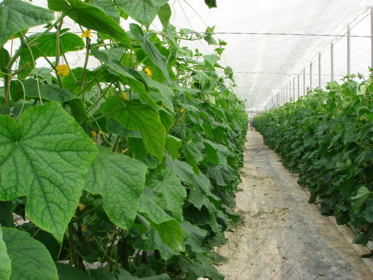 Почему не растут огурцы и что делать, чтобы стимулировать развитие плодов?