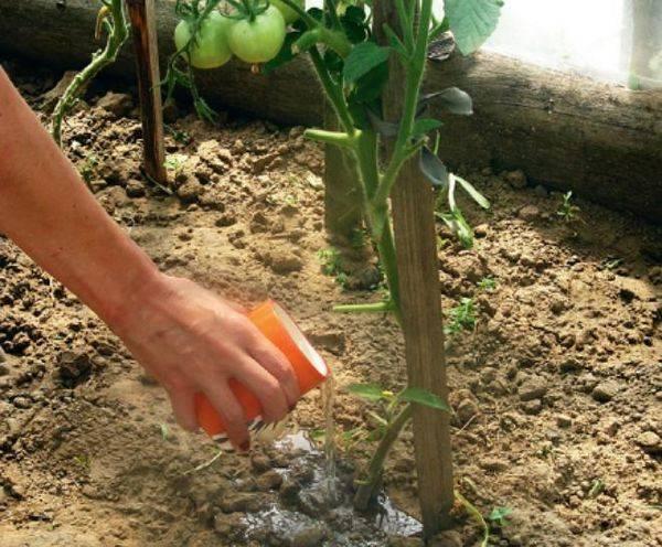 Использование трихопола в лечении помидоров и огурцов