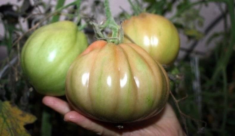 Высокоустойчивый индетерминантный сорт томата «сто пудов»: описание, характеристика, посев на рассаду, подкормка, урожайность, фото, видео и самые распространенные болезни томатов