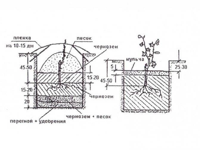 Как правильно посадить виноград саженцами весной, летом и осенью пошагово