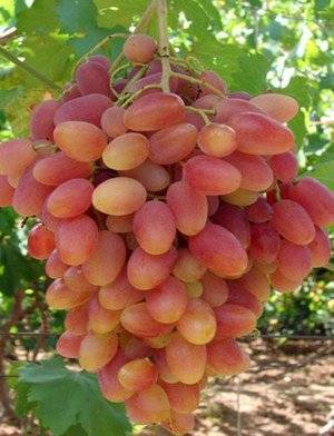 Старинный сорт с богатой историей — «королева винограда»