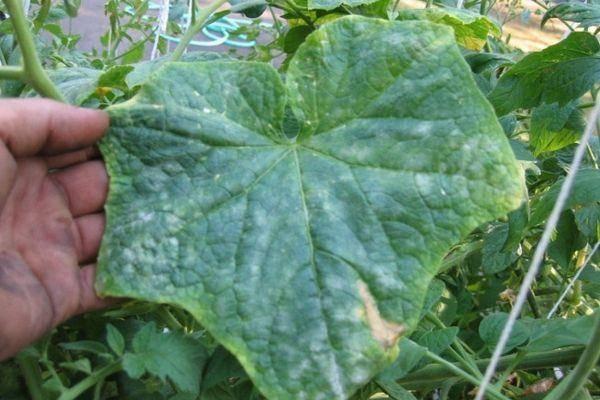 Мраморные пятна на листьях огурцов. причины появления мраморных листьев у огурцов и что делать. какие овощные культуры наиболее чувствительны к хлору