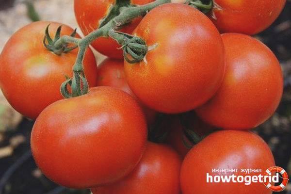 Описание сорта томата семеныч f1, особенности выращивания и урожайность