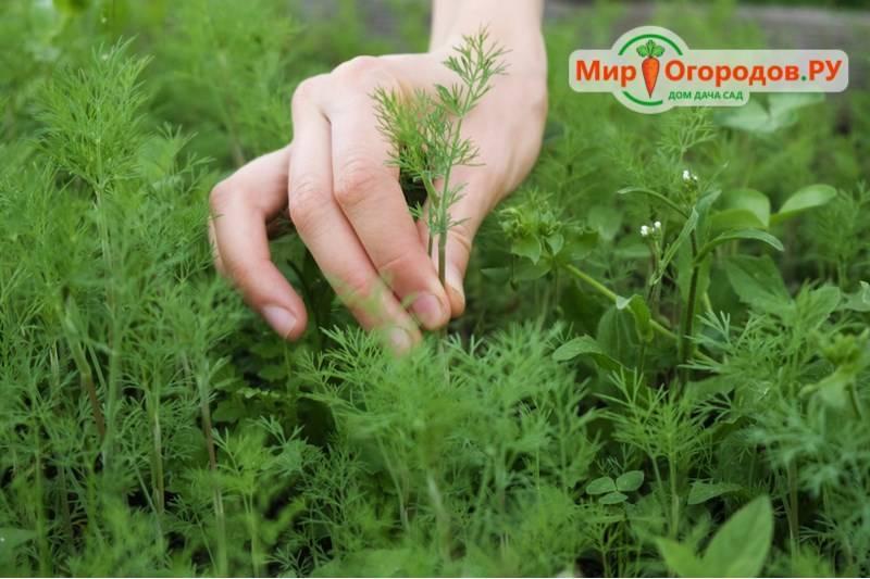 Как посадить укроп в открытый грунт семенами, чтобы быстро взошел