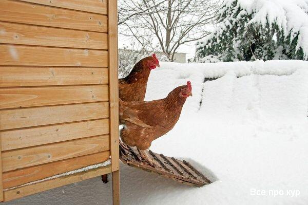 Содержание кур зимой
