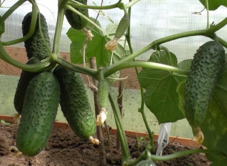 Огурец сорта эколь f1: секреты хорошего урожая