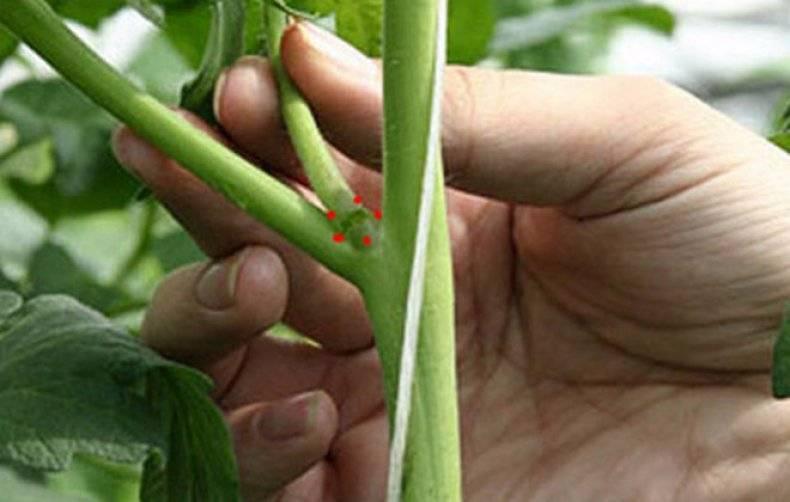 Как правильно пасынковать огурцы в теплице: пошагово