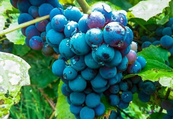Чем и когда обработать виноград от серой гнили, как бороться препаратами и народными средствами