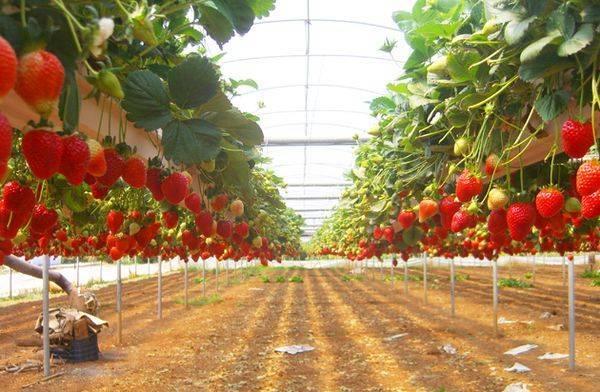 Как получить хороший урожай томатов методом гидропоники?
