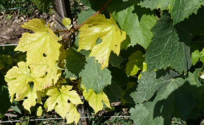 Как лечить хлороз на винограде железным купоросом, что делать и как обработать
