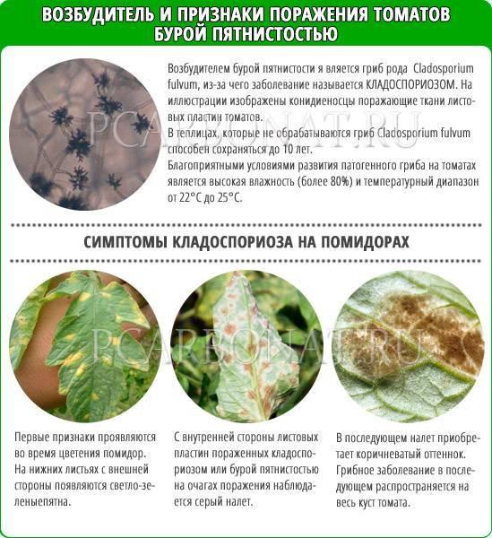 На листьях томатов появились пятна, как лечить кладоспориоз?