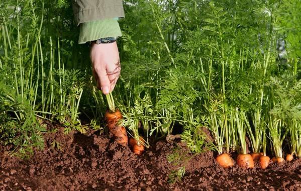 Когда происходит посадка семян моркови в открытый грунт весной и как проводить процедуру?