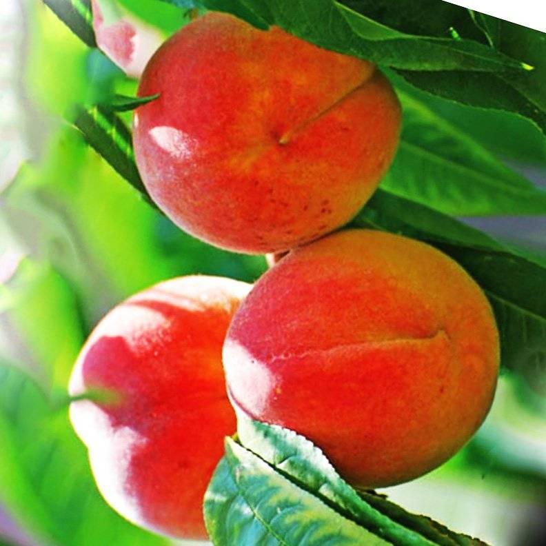 Лучшие сорта персика для выращивания в средней полосе россии, посадка и уход