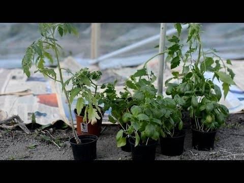 Советы галины кизимы по выращиванию томатов
